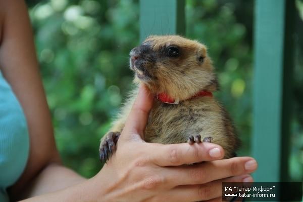 Детский контактный зоопарк «Лукоморье» в Казанском зооботсаду пополнился новыми обитателями – 4 сурками.