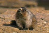 marmota_caligata