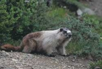 marmota_caligata1