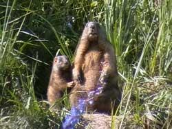 Лесостепной сурок, forest-steppe marmot, Marmota kastschenkoi