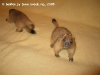 Сурки Тимка и Фимка 1,5 месяца