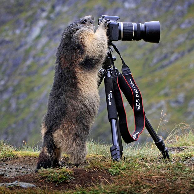 Стефан Мейерс увидел, как один из сурков подошел к его камере, встал на задние лапы и будто начал смотреть через объектив