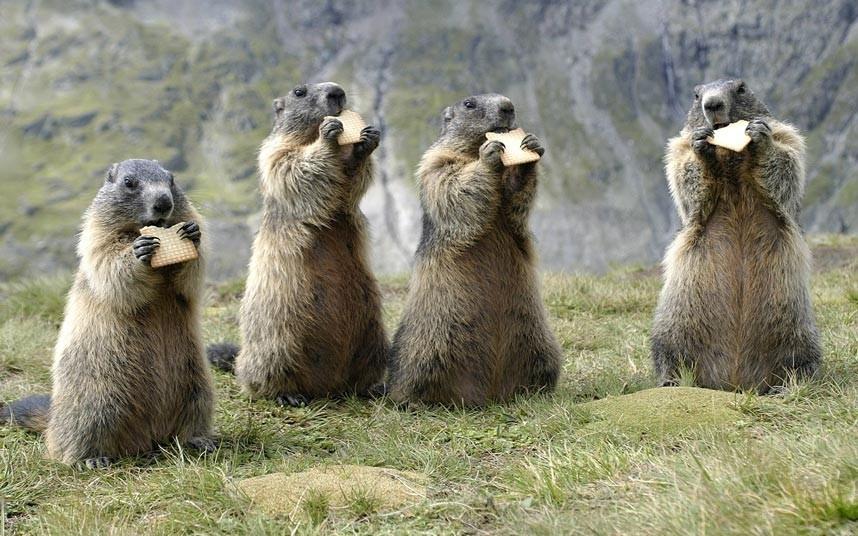 Фотограф Рональд Виттек (Ronald Wittek) из Шпейера (Германия) сфотографировал эту группу сурков, грызущих бисквиты, в национальном парке Высокий Тауэрн в Австрии