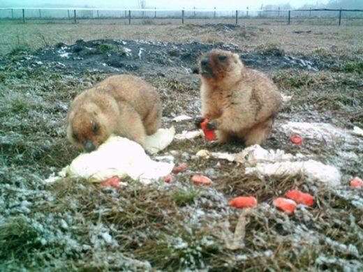 В связи с неблагоприятной погодой – снегопадами и морозами и отсутствия в марте свежей травы сотрудники заповедника подкармливали байбаков кашей, капустой и морковью.