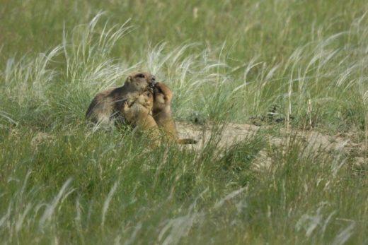 Фото дня: Сурчата встречают сурчиху