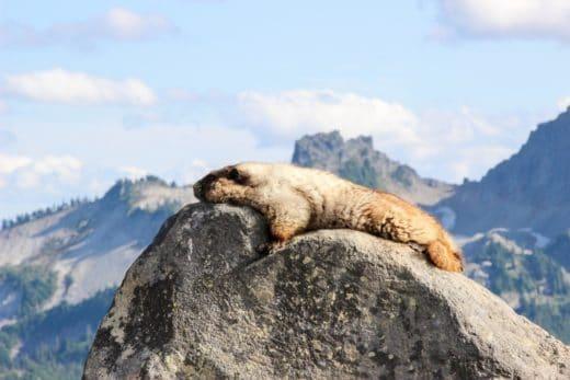 Национальный парк на горе Рейнир, штат Вашингтон (США). Этот мохнатый приятель загорал, не обращая никакого внимания на туристов.