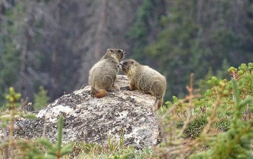 Желтобрюхие сурки в Скалистых горах. Фото: nancy overholtz