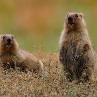 Сурки оренбургских степей