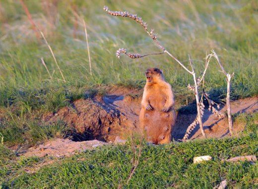 Степной сурок (Marmota Bobak), ©Сергей Жданов