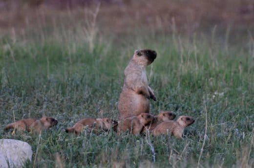 Степные сурки (Marmota Bobak), ©Сергей Жданов