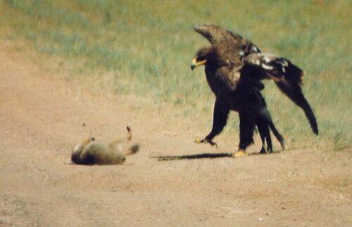 Внезапно сурок упал от волнения, что вывело из равновесия орла