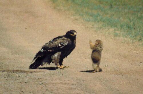 Сурок быстро вскочил на лапки и атаковал орла