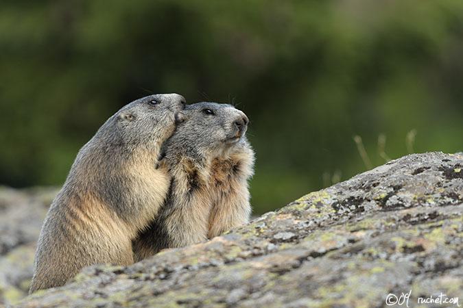 Альпийский сурок, Marmotte - Marmota marmota (Marmot / Murmeltiere / Marmota) 24-08-2009