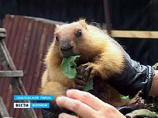 Сурки в Павловском районе больше не под угрозой исчезновения 1