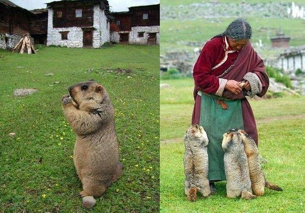 Гималайский сурок