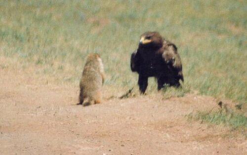Сурок снова вскочил, согнал с дороги орла...