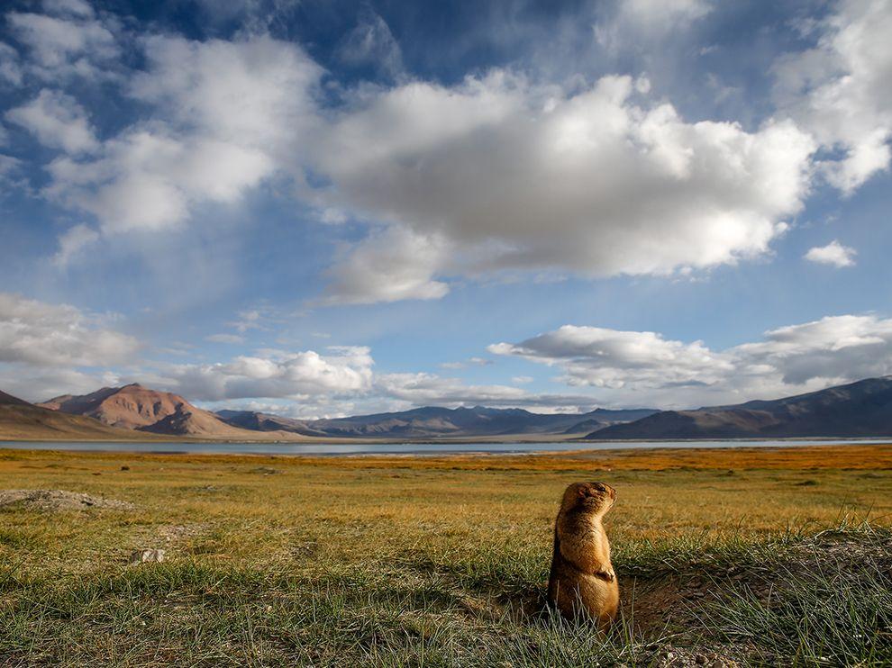 Сурок дозоный. Фото: Sebastian Wahlhuetter, National Geographic