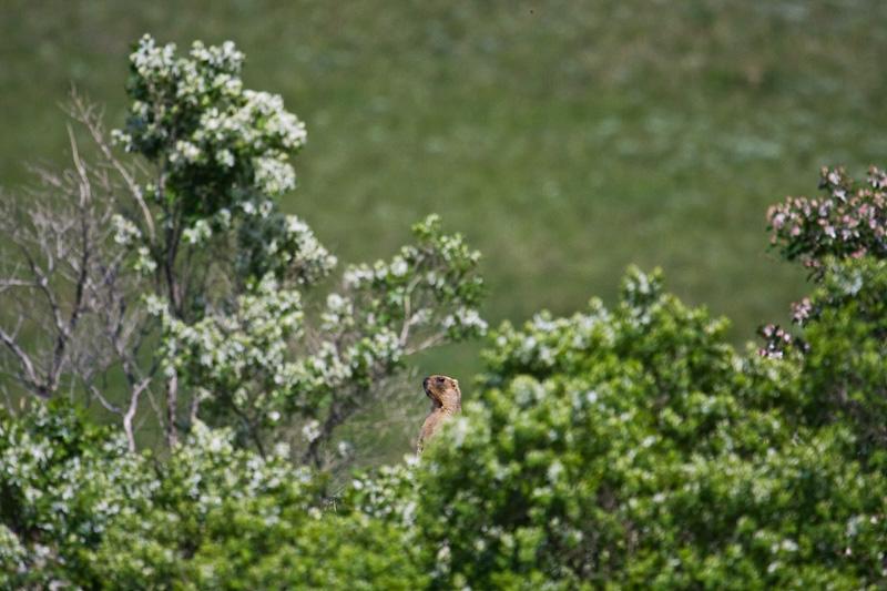 Обычно зверек хорошо видит приближающегося человека и удирает в нору когда расстояние сокращается до 50 -100м