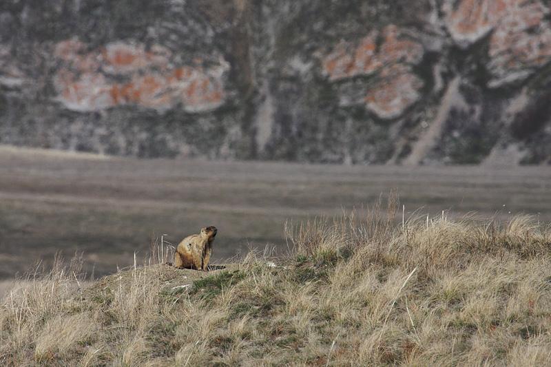 Норы частенько втречаются среди кустарника, хотя в большинстве своем звери все же предпочитают селиться в открытой степи