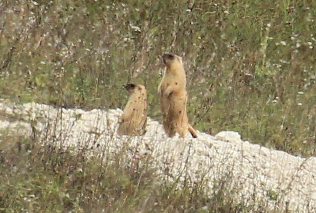 """Степных сурков никогда раньше не встречали на Брянщине. Фото: Заповедник """"Брянский лес"""""""