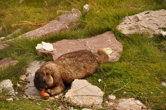 Marmota baibacina - этот братец уже наелся, но он не сдаётся и ест лёжа
