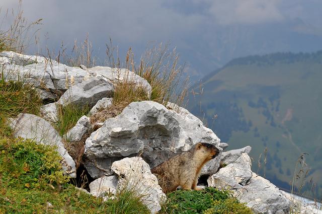 По-латински сурок пишется как marmota. Я когда впервые это узнала, так и решила их называть. Мармотами