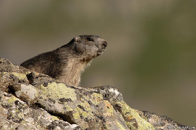 Альпийский сурок, Marmotte - Marmota marmota (Marmot / Murmeltiere / Marmota) 18-08-2008