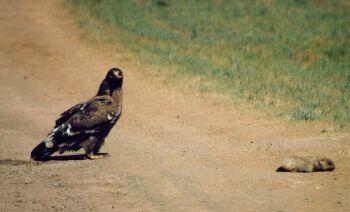 Вторая машина, входившая в группу путешественников и обогнавшая наблюдателей, вспугнула орла