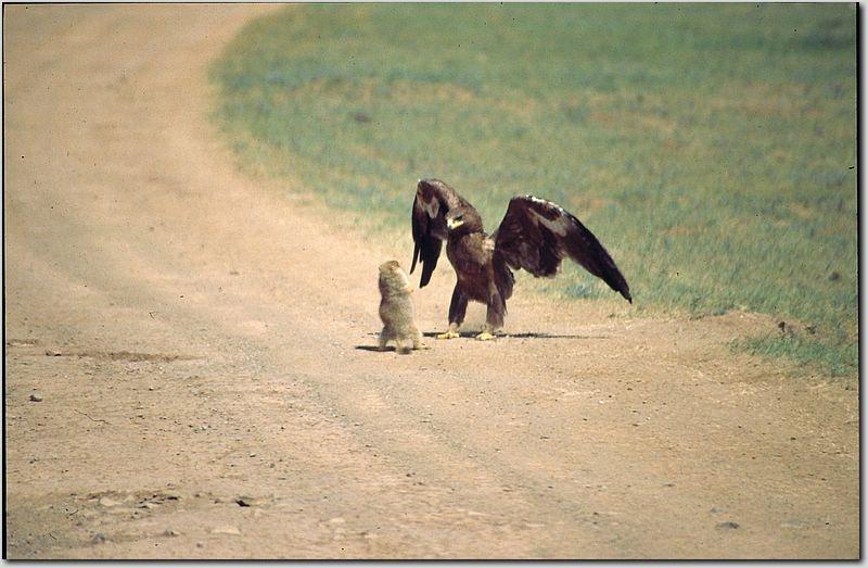Этому сурку повезло. Он сумел обмануть орла, который, в конце концов, улетел.