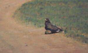Орел уже сшиб сурка, когда водитель машины обнаружил их на краю дороги