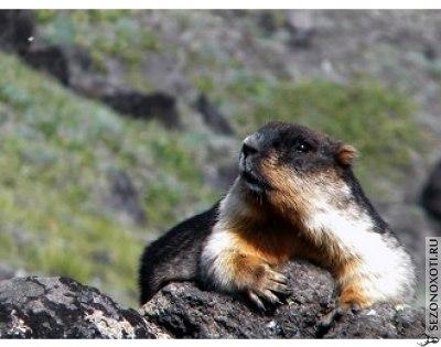"""Колония черношапочных сурков Marmota camtschatica camtschatica Pall., обитающих в природном парке """"Вулканы Камчатки"""", за короткий срок сократилась более чем в 5 раз."""