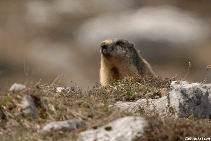 Альпийский сурок, Marmotte - Marmota marmota (Marmot / Murmeltiere / Marmota) 14-04-2007