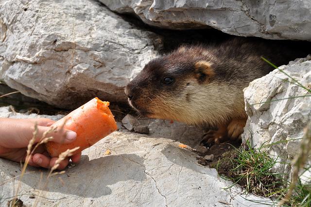 Не смотря на большое количество разбросанных и спрятанных под камнями овощей, мармоты всегда любезно примут и ваш подарок
